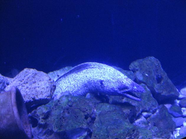 Рыба змея